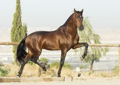 #horses  Spanish Stallion HAWK XX