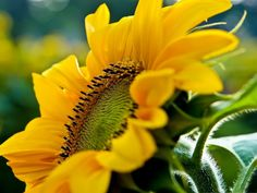 cool Smiling Sunflower Background Computer