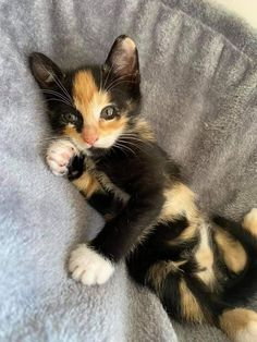Cute Baby Cats, Cute Cats And Kittens, Adorable Animals, Animals Beautiful, Cute Babies, Serious Cat, Calico Cats, Leopards, Cat Toys