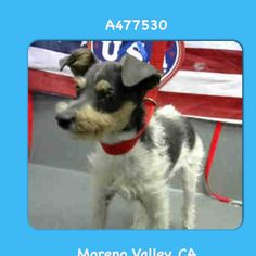 URGENT !! **PUPPY**   ROCKET #A477530 Moreno Valley CA male gray and white Fox Terrier - Wirehaired mix  I am about 4 months old I have been at the shelter since Sep 01 2017