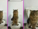 The Cat Standing On Two Legs Using Toilet Like Human
