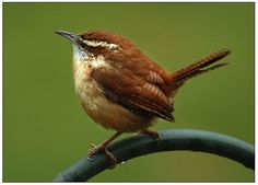 Carolina Wren: Louder than you would expect, small, friendly, seems to nest around house