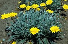Gazanias helped define the clients upper walkways that led to the oak grove and hammock. Tucson Sunset, Identify Plant, Deer Resistant Plants, Oak Grove, Herbaceous Perennials, Landscaping Plants, Plant Design, Planting Flowers, Flowering Plants