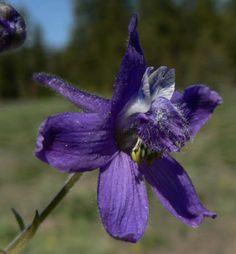 July-Larkspur flower