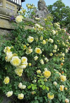 The Pilgrim Climbing Rose  Climbing rose covered in buds at Bodnant Gardens, Wales. The pure, soft yellow rosettes make this an unusual clim...