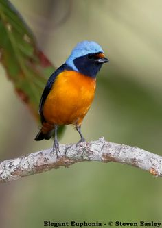 Blue-hooded Euphonia (Euphonia elegantissima) found throughout Mexico and Central America.  -kc