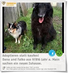 """Dana und Falko wurden im Tierheim wegen einer Trennung abgegeben :(  http://www.tierheimhelden.de/hund/tierheim-lohr_a_main/sheltie_und_groenendal/dana_und_falko/4282-0/  Seit 7 Jahren sind die zwei ein ausgeglichenes """"Traumpaar"""" und suchen nun gemeinsam ein neues Zuhause, in dem sie ihre Lebensjahre verbringen können. Mit anderen Hunden sind die beiden gut verträglich, fahren Auto und können gut alleine bleiben."""