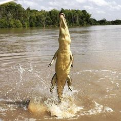 @onecacti witnessed this powerful creature leaping out of the water on a croc-jumping cruise along the Adelaide River, which is around an hours drive from Darwin, NT