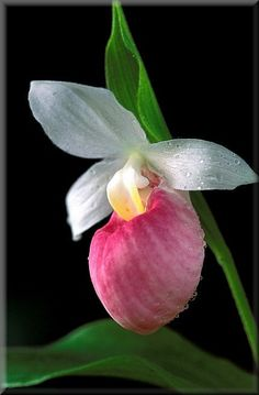Orchid- Lady slipper!