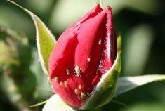 Iodine and milk drove the aphid from my roses once and for all . Home And Garden, Plants, Garden, Aphids, Summer House Garden, Landscape Design, Rose, Flowers, Gardening Tips