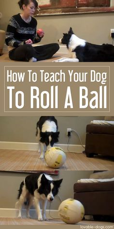 How To Teach Your Dog To Roll A Ball►►http://lovable-dogs.com/how-to-teach-your-dog-to-roll-a-ball/?i=p