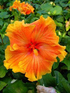 Hibiscus 'Sunset Gold'