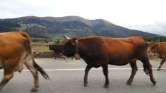 #cantabriasan #cantabria #turismo #cantabriayturismo #cantabria_y_turismo #cantabriainfinita #cantabros #vacas #cantabriaverde #cantabriarural #igerscantabria #paseucos #paseúcos #cantabriamola #igercantabria #igcantabria #fotocantabria #follow #picoftheday #instapic #fotodeldia #pasionporcantabria #latierruca #lamontaña Esta imagen tiene copyright