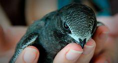 Martinet noir (Apus apus) - Crédit photo : LPO