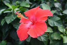Hibiscus-makes a wonderful hedge