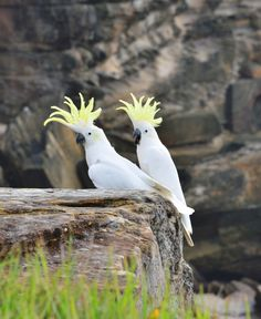 Picture of a pair of sulfur crested cockatoos.