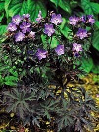 Cranesbill Geranium pratense Dark Reiter from Growing Colors Geranium Pratense, Cranesbill Geranium, Hardy Geranium, Geranium Plant, Shade Garden, Garden Plants, Potted Plants, Geranium Vivace, Gothic Garden