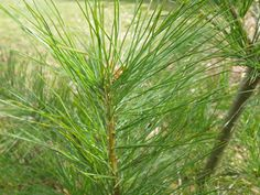 How to Make Pine Needle Tea: 5 times the Vitamin C of a cup of orange juice and high in vitamin A