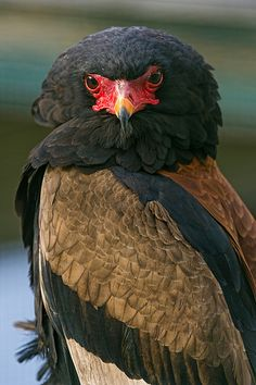 The Batelelur eagle -