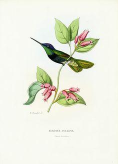 Mulsant & Verreaux Hummingbird Prints by Bevalet c1885