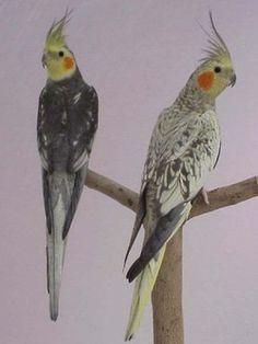 Boa tarde amigos Criadores de Pássaros ! Vejam que lindas mutações e leiam o artigo com certeza iremos aprender muito. MUTAÇÕES No cativeiro foram surgindo mut