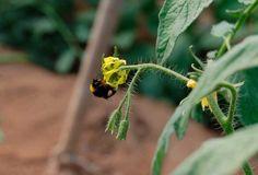 Así trabajan los abejorros en la polinización natural de nuestros tomates Raf.