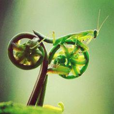 Praying Mantis riding a bike. Nature rocks!