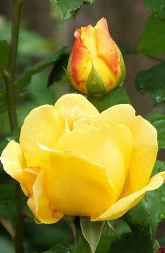 Organic Rose Gardening Tips Unusual Flowers, Beautiful Flower Arrangements, Pretty Flowers, Morning Rose, Morning Flowers, Beautiful Roses, Beautiful Gardens, Yellow Flowers, Pink Roses