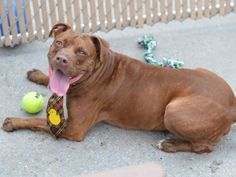 SAFE 9-15-2015 --- SUPER URGENT Brooklyn Center CHOC CO aka MARCUS aka RAISIN – A0952203 (ALT ID A1048282)  ***RETURNED 08/18/15***  UNKNOWN GENDER, BROWN, PIT BULL MIX, 3 yrs STRAY – STRAY WAIT, HOLD FOR ID Reason STRAY Intake condition EXAM REQ Intake Date 08/18/2015 http://nycdogs.urgentpodr.org/raisin-a1048282/