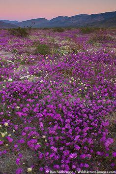 Desert Wildflowers, Desert Sand Verbena and Dune Evening Primrose, Anza-Borrego Desert State Park, California.