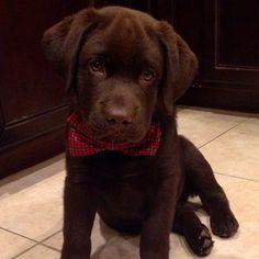 Cutest chocolate lab puppy