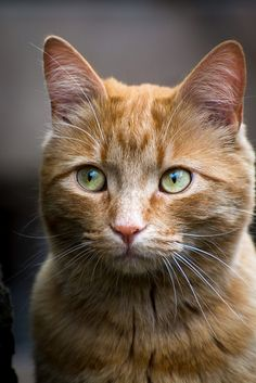 It's common to talk about tabbies as if they represent a cat breed. In fact, the word tabby denotes a coat pattern. Excellent What It Means to Be a Tabby Cat Ideas. Cute Cats And Kittens, Cool Cats, Kittens Cutest, Ragdoll Kittens, Funny Kittens, Bengal Cats, White Kittens, Black Cats, Pretty Cats