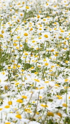 Lots of daisies!