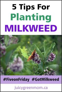 Tips For Gardening five on friday tips for planting milkweed juicygreenmom - Milkweed is essential for monarch butterflies, so everyone is encouraged to plant it! These tips for planting milkweed will bring those monarchs to your. Butterfly Garden Plants, Butterfly Feeder, Butterfly Food, Flower Plants, Milkweed Plant, Hummingbird Garden, Outdoor Plants, Outdoor Gardens, Zen Gardens