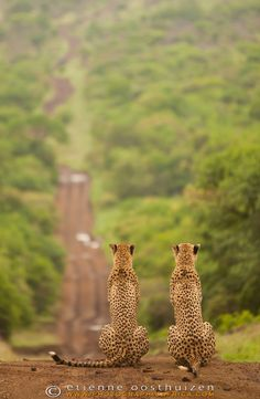 """""""Muddy Roads of Zululand Landscape"""" -- [A pair of cheetah sitting & looking out for prey over a magical view of the Zululand Hills at the *Thanda Private Game Reserve*]~[Photograph by Etienne Oosthuizen - October 27 2012 - Zululand, South Africa]'h4d.9'"""