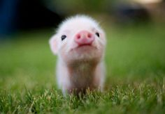 Why are pigs so cute?