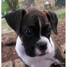 Reverse Brindle Boxer Puppy