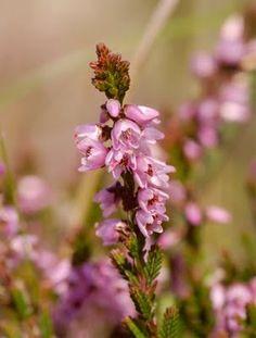 Scottish Wildlife blog: Ling (Caluna vulgaris) - heather