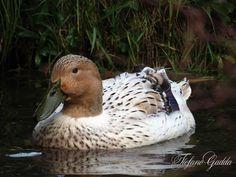 Streicher Ducks female in my pond