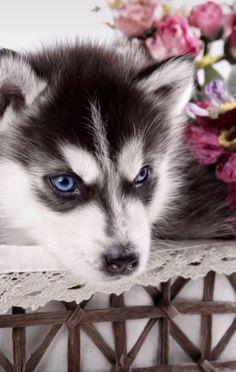 My Husky