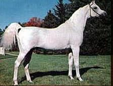 Ferzon - One of my favorite Arabian Horses of all time...