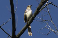 photo by Henry McLin: Brown thrasher