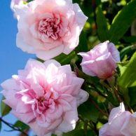 'Climbing Cecile Brunner' Rose