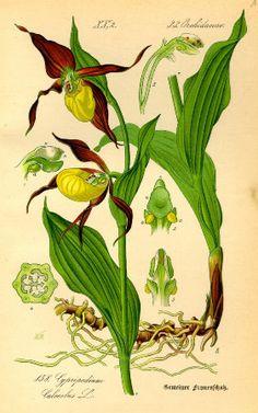 """Lady's Slipper Orchid (Cypripedium calceolus) Poster  Antique botanical illustration by Otto Wilhelm Thomé, from """"Flora von Deutschland, Österreich und der Schweiz"""", 1885."""