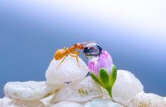 Mrówka, Pąk, Kwiatowy, Kropla, Makro