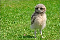 Adorable baby Burrower Owl. Look at that face!