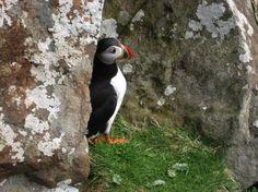 L'Assommoir Daydreamer   Puffin, Isle of Staffa, Inner Hebrides, Scotland