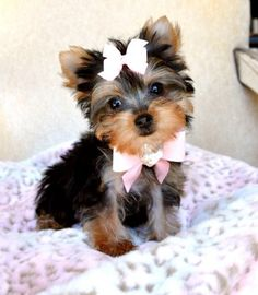 Teacup Yorkie puppy.....I want a dog like this so incredibly bad!(: They are just too adorable!(: <3