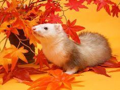 そろそろ紅葉の季節かな😊🍁🍁🍁🍁 . . 🍁🍁2009年🍁🍁生後10ヵ月頃のおはぎです🍁🍁 . .  Photographed on 2009 . . .  #おはぎはシャンパンでした #そういえばミットもあったね😊 #フェレット #おはぎ #🍁 #goodmorning #ミニスタジオ撮影 #ferretgram #ferrets #ferret #instaferret  #iloveferrets #petstagram #instas_animals #ferretlove #ferretism  #ferretlife #ferretnation #ferretfun #ふわもこ部 #animaladdicts #Japan