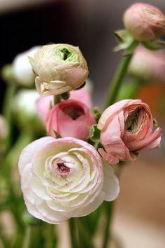 Ranunkel i rosa toner. These flowers are too wonderful.....
